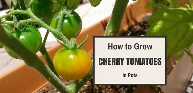 How To Grow Cherry Tomatoes In Pots Kaboutjie