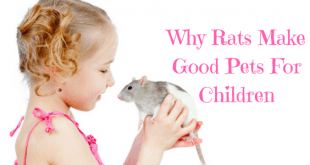 Why rats make good pets for children