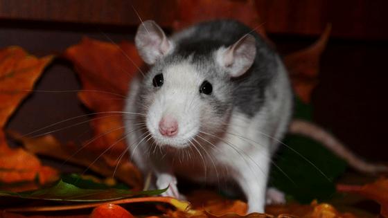 Why rats make good pets