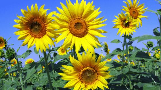 Garden sun flowers