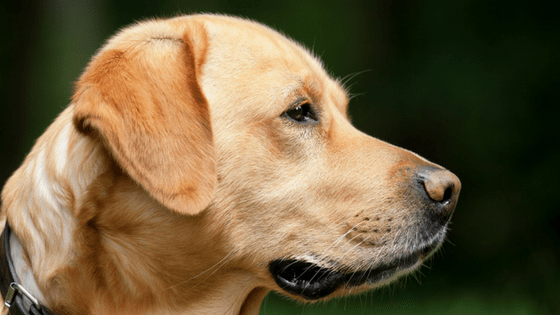 Golden Labrador outside