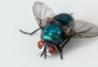 Fly Household Pest