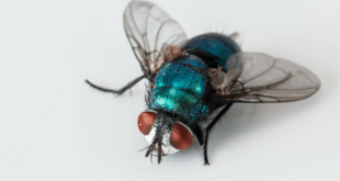 Fly Household Pest