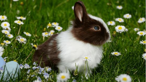 bunny daisy