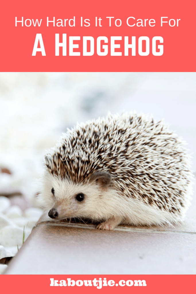 How Hard Is It To Care For A Hedgehog?