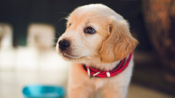Puppy wearing red collar