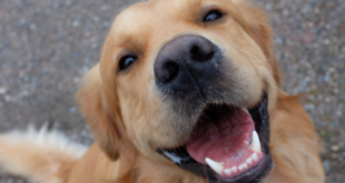 Happy Gold Retriever Dog